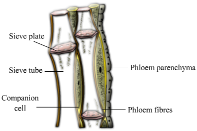 importance of xylem and phloem tissues Structure of plant stems: vascular and ground tissue  vascular systems are  made up of xylem and phloem, or vascular tissue, which  why is it important.