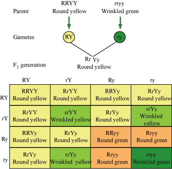 What is the genotypic ratio of the dihybrid cross?
