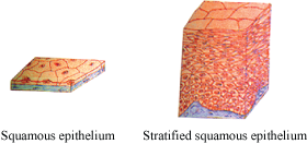 Squamous and stratified squamous